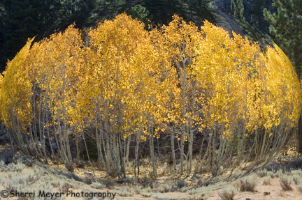 abstract-aspens2.jpg