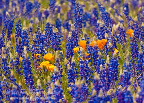 Poppies-and-Lupine